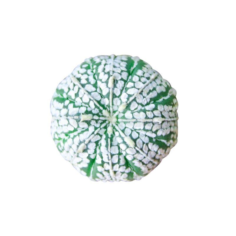 顶视图在与裁减路线的白色背景隔绝的astrophytum仙人掌 库存照片