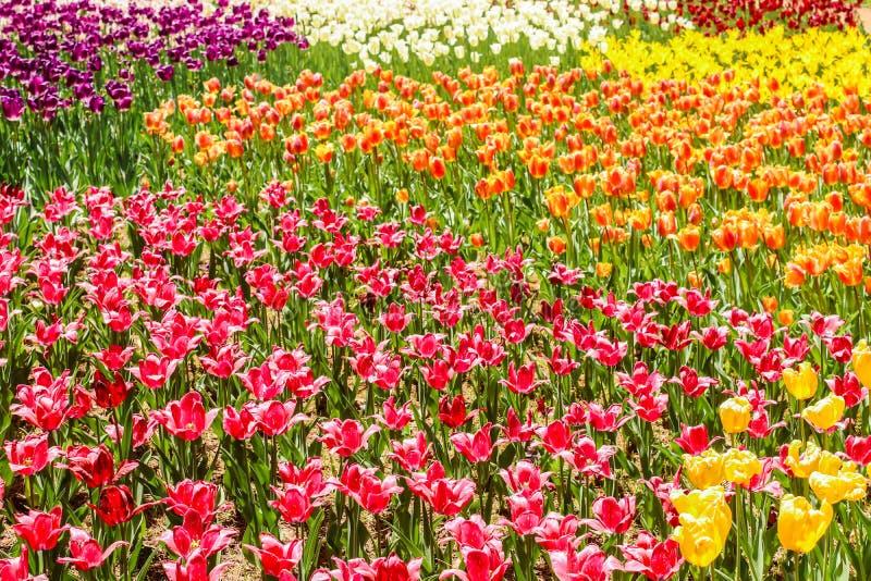 顶视图多彩多姿的郁金香在日立海滨公园 库存图片