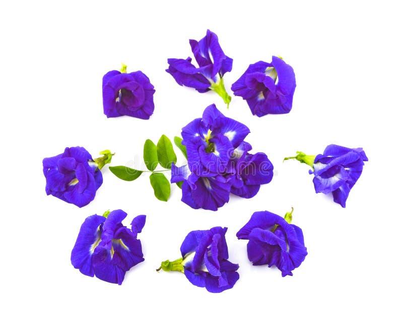 顶视图套在白色背景或Aparajita花隔绝的Clitoria ternatea 免版税库存照片