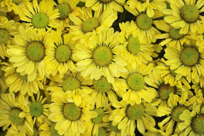 顶视图开花在庭院里的巨大的五颜六色的黄色菊花花小组 免版税图库摄影