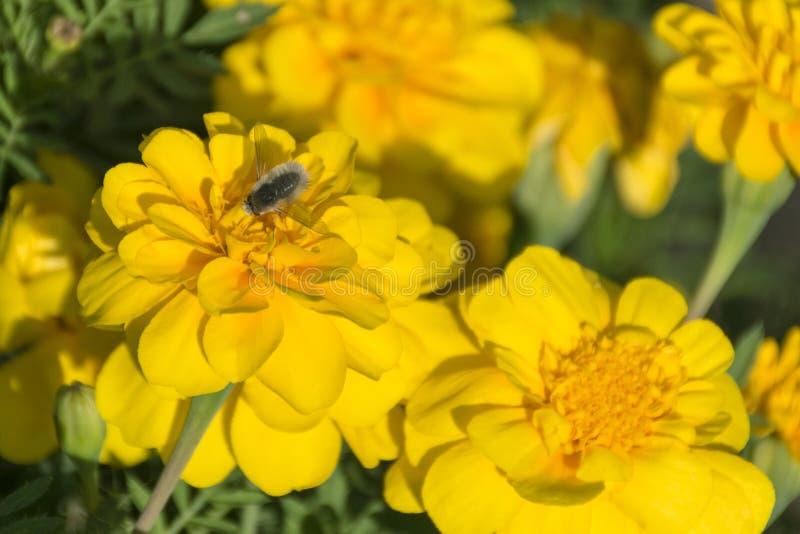 顶视图微小的白色Beefly和万寿菊花 免版税库存照片