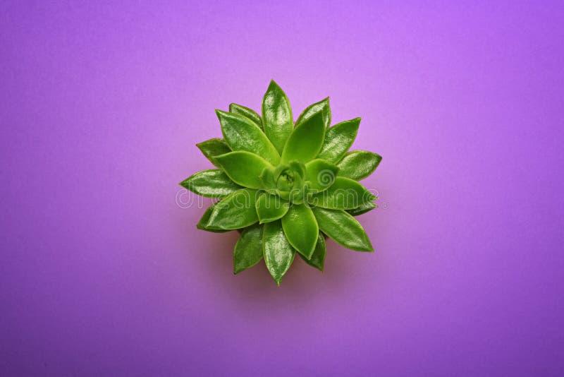 顶视图特写镜头绿色在陶瓷罐的仙人掌多汁植物在淡色紫外背景 最小的概念 平的位置 免版税图库摄影