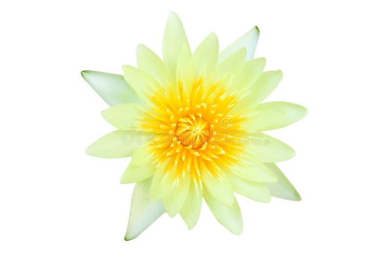 顶视图白百合星莲属莲花,黄色莲花开花隔绝在与裁减路线的白色背景 免版税库存图片