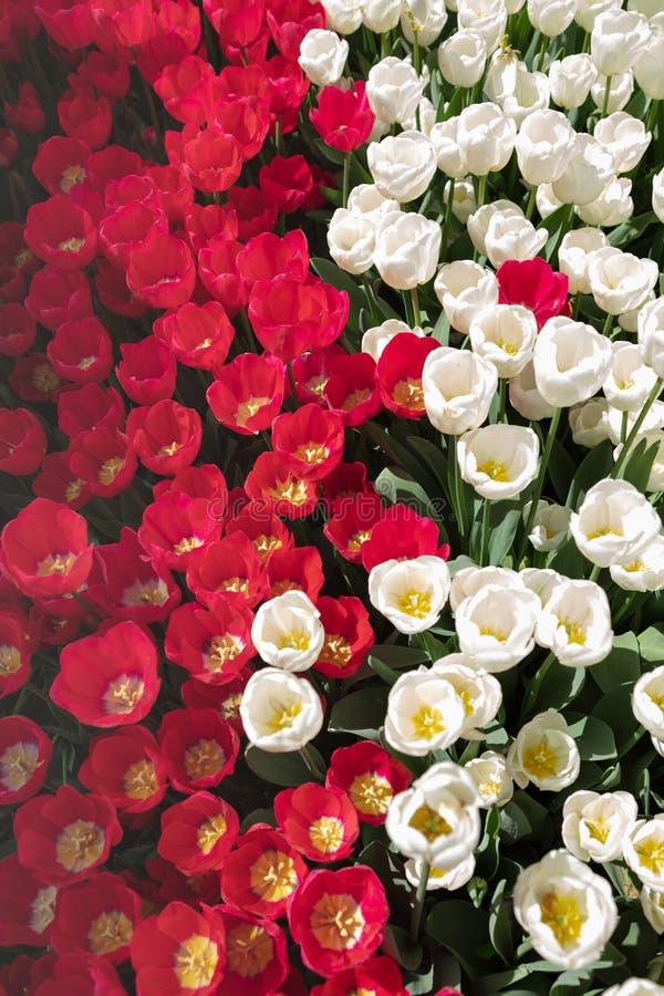 顶视图白色和红色郁金香调遣在春天阳光下 免版税库存图片