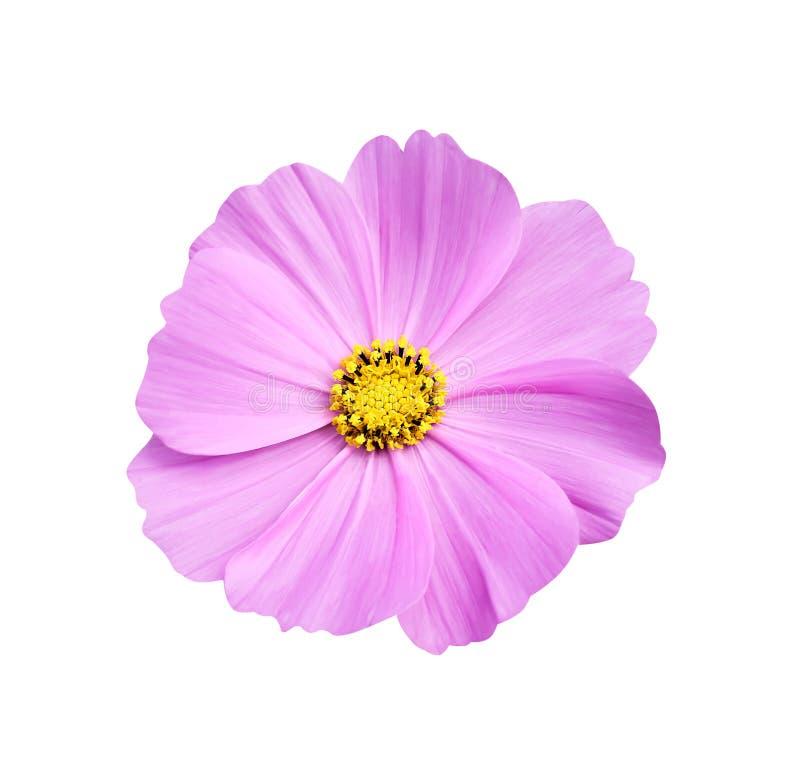顶视图自然在白色背景与黄色花粉样式开花的五颜六色的明亮的桃红色或紫色波斯菊花隔绝的 免版税库存照片