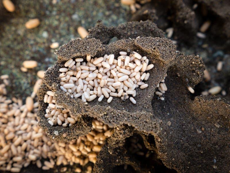 顶视图蚂蚁巢;蚂蚁设法掩藏他们offsping 免版税图库摄影