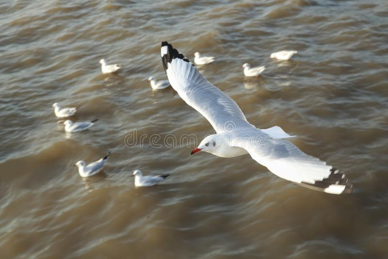 顶视图飞行的海鸥在海洋 库存照片