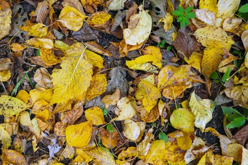 顶视图黄色和干燥棕色落叶在地面,秋天背景上说谎 免版税库存照片