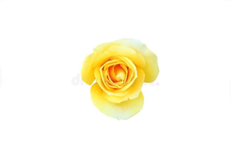 顶视图黄色玫瑰背景,在白色背景的顶视图孤立美丽的黄色玫瑰 免版税库存照片