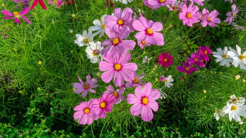 顶视图,波斯菊花的俏丽的桃红色和白色瓣的领域在绿色叶子和小芽进展 图库摄影