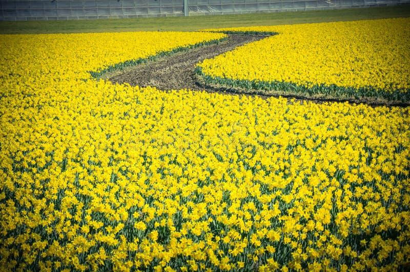 顶视图s弯曲了绕道路在黄水仙农场在Skagit谷 免版税图库摄影