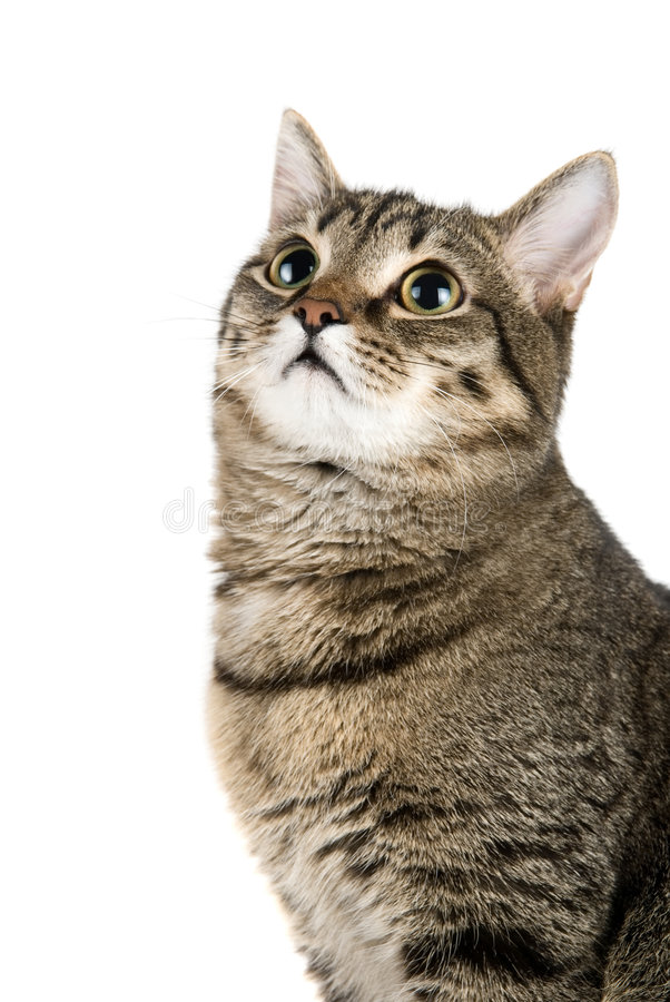 顶部查找的猫 免版税图库摄影