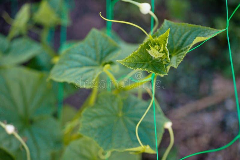 顶面与年轻人的黄瓜Cucumis幼芽新芽离开,并且天线黄瓜在庭院在格子阻塞 图库摄影