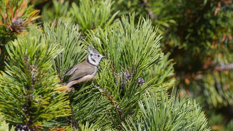 顶饰的山雀,被安置在杉木的分支之间 库存图片