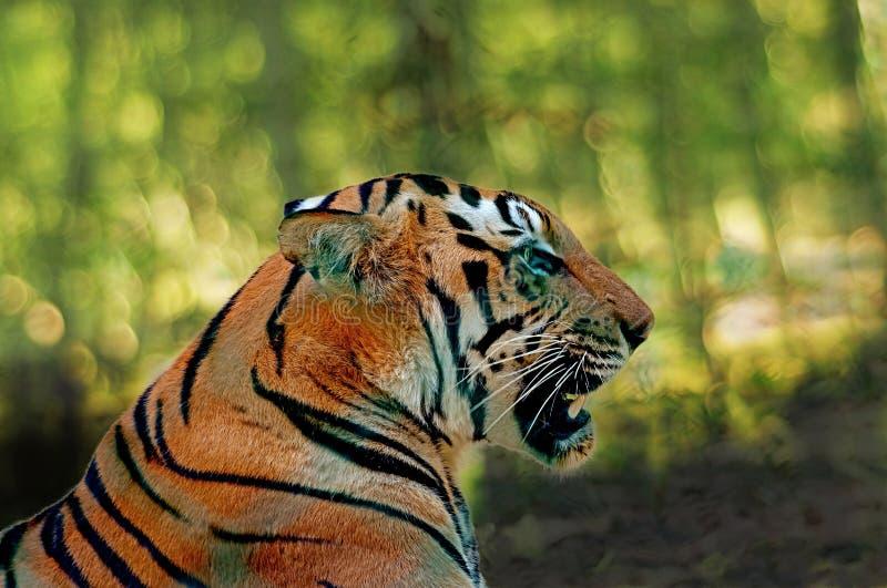 顶头特写镜头显示皇家孟加拉老虎的致命的下颌 免版税库存照片