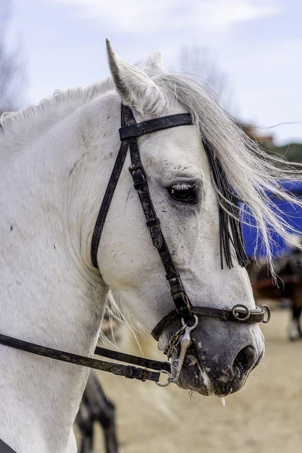 顶头白色的horseÂ的 库存照片