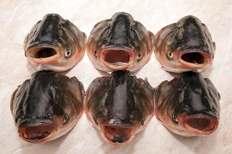 顶头银色鲤鱼 库存图片