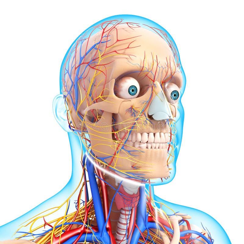 顶头骨骼循环系统侧视图  库存例证