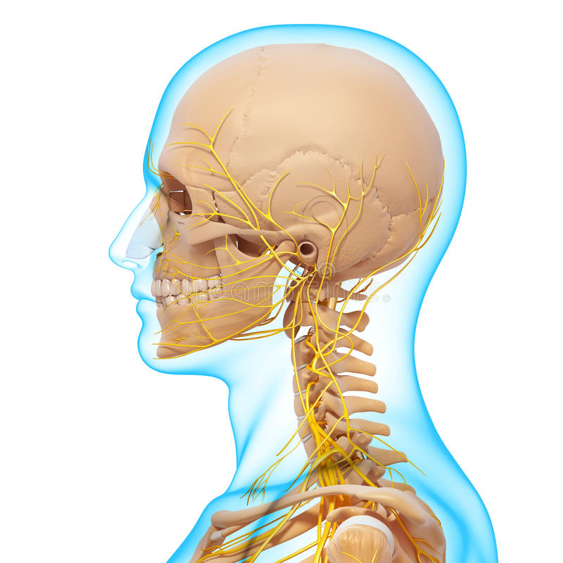 顶头骨骼神经系统侧视图  库存例证