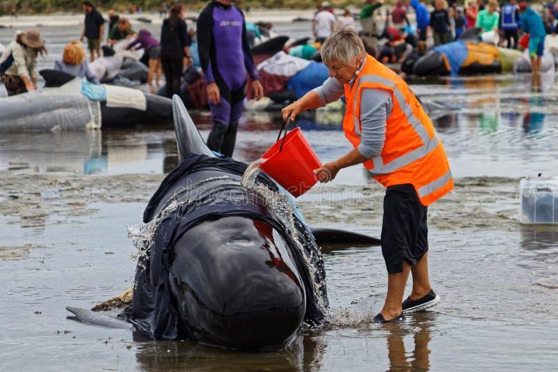 项目趋向在告别唾液,新西兰的约拿书志愿者搁浅的圆头鲸 免版税库存图片