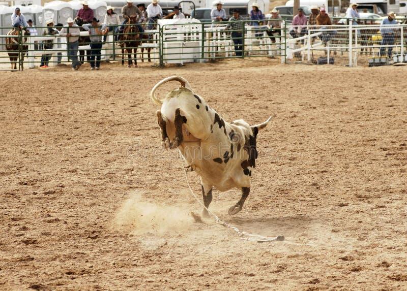 顽抗的公牛2 免版税库存照片