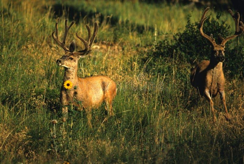 顽抗鹿骡子天鹅绒 免版税库存照片
