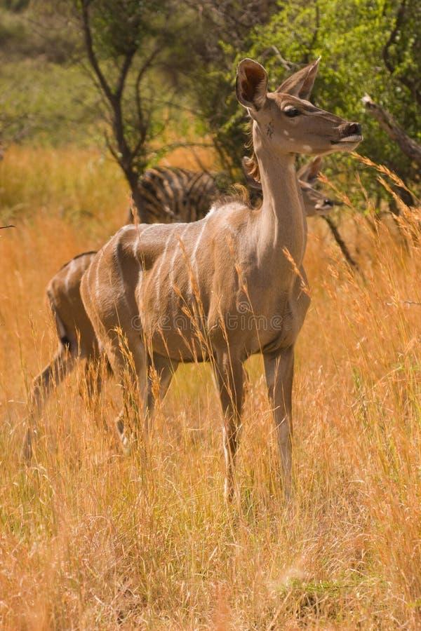 预警女性kudu 库存图片