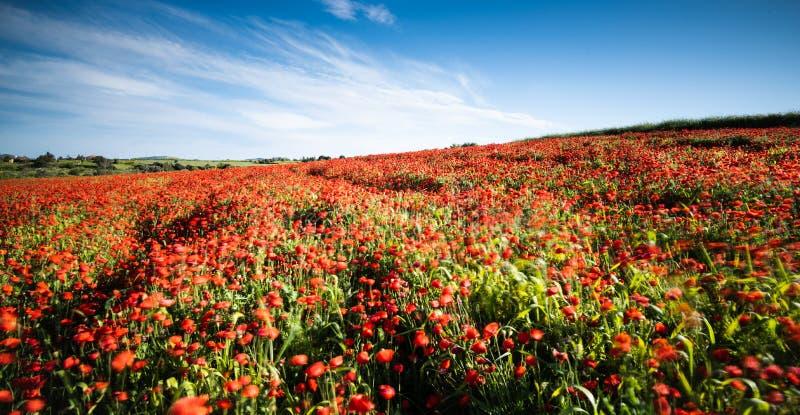 领域充分与红色鸦片银莲花属花 免版税库存照片
