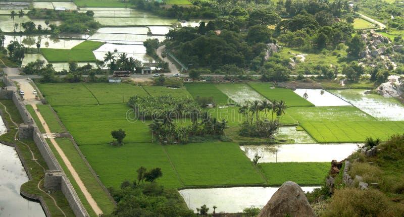 水稻领域在印度 免版税库存照片