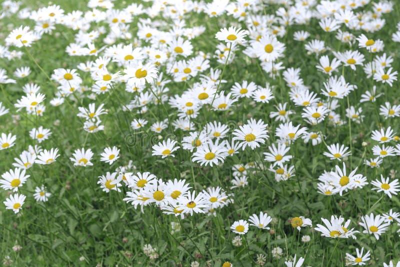 领域春黄菊在夏天背景的庭院里开花 免版税库存照片