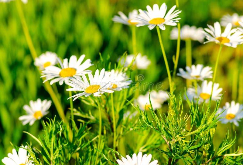 领域春黄菊在草甸在一个晴朗的明亮的温暖的夏日 免版税库存图片