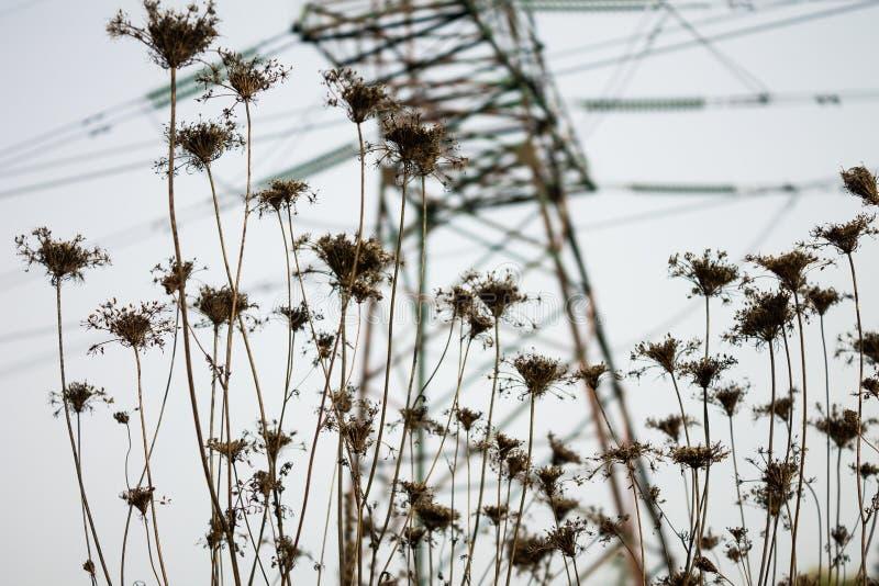 领域植物秋天干燥花反对输电线支持的在bachkground 免版税库存图片