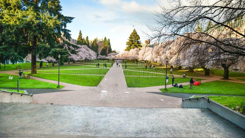 领域樱花在西雅图华盛顿大学的地方 免版税库存图片