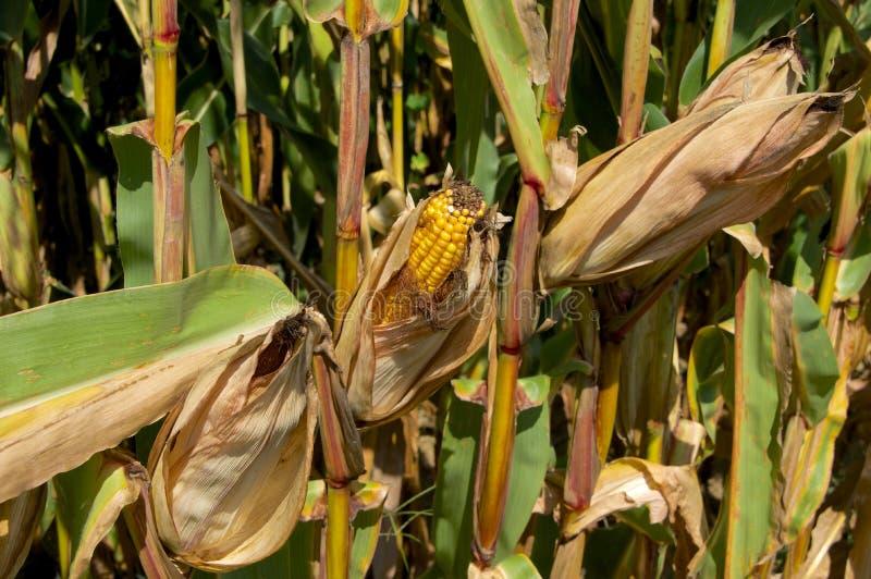 领域玉米的耳朵 库存照片
