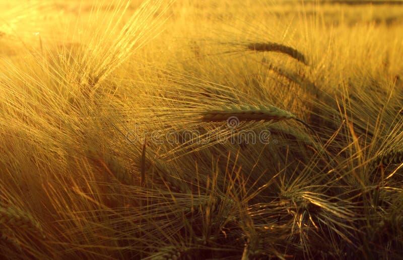 领域用在日落的大麦 免版税库存图片