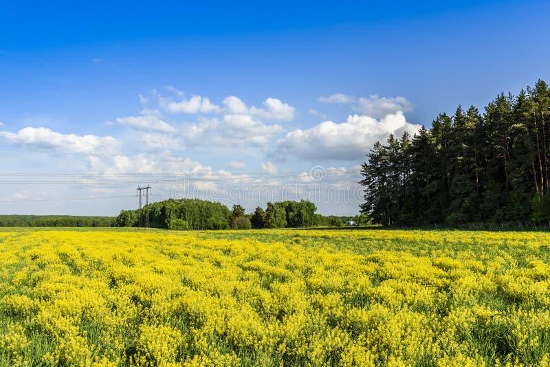 领域用年轻芥末、森林和输电线在一个晴朗的春日 莫斯科地区,俄罗斯 免版税库存图片