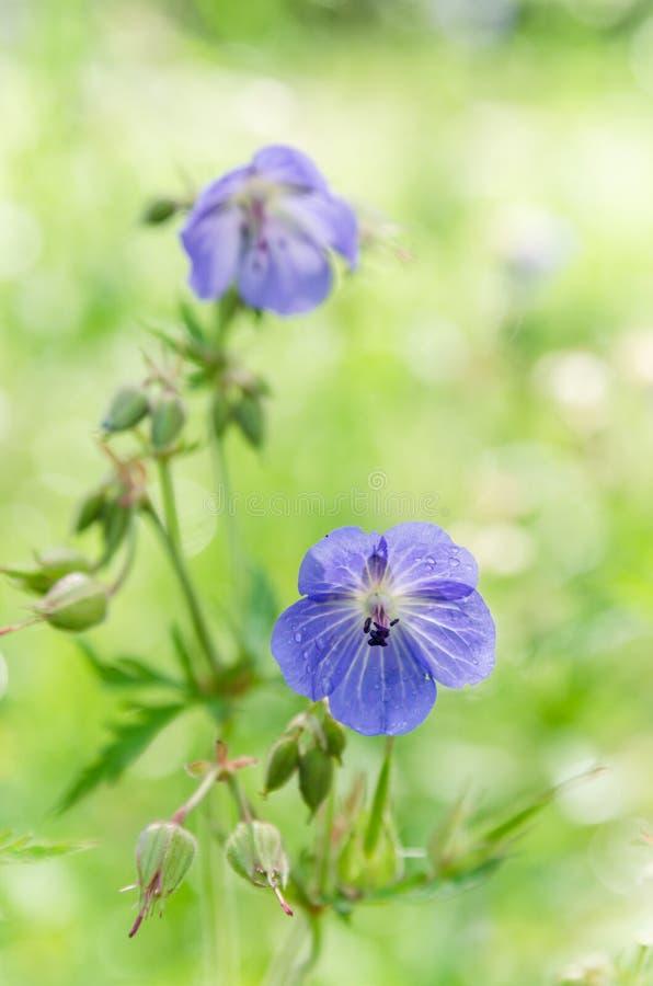 领域的蓝色花,特写镜头 库存照片