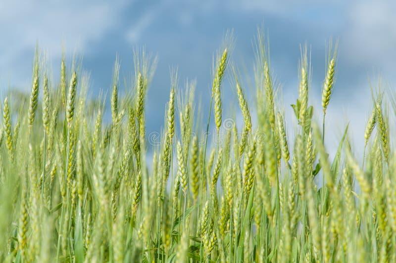 领域的麦子植物 免版税库存照片