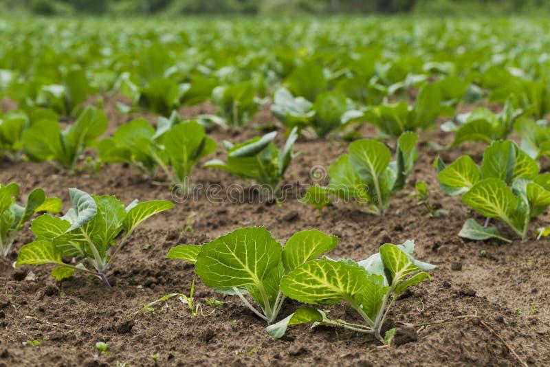 Download 领域种植用圆白菜 库存图片. 图片 包括有 的treadled, 结构树, 投反对票, 植物群, 影子, 动物区系 - 72360873