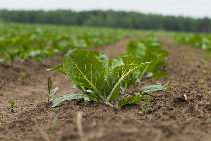 Download 领域种植用圆白菜 库存图片. 图片 包括有 健康, 植物群, 森林, 饮料, 空白, 问题的, 食物, 地球 - 72360881