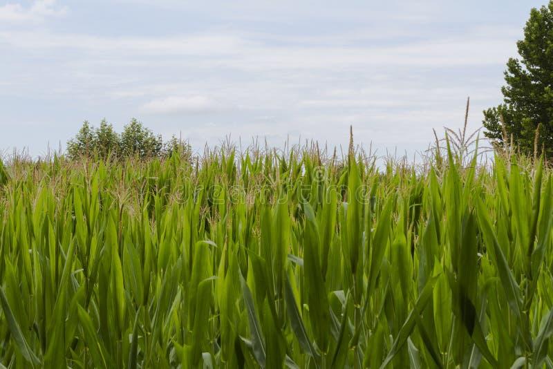 领域种植用玉米棒子 免版税图库摄影
