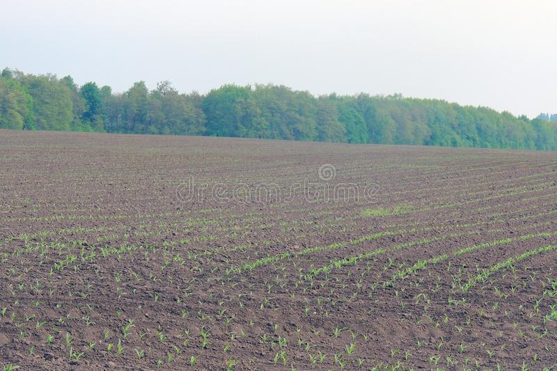 领域种植用玉米 免版税图库摄影