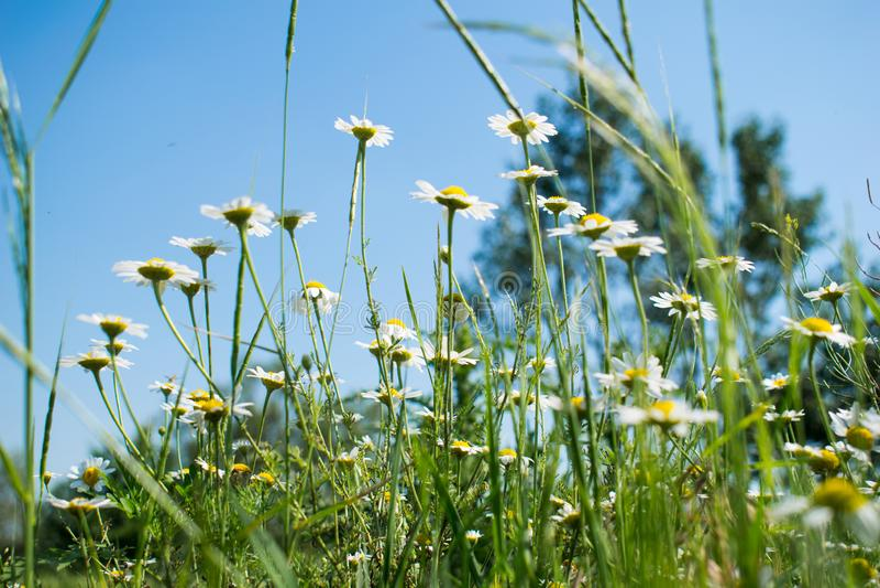 领域花在一个美好的夏日,与蓝色和清楚的天空 免版税库存照片