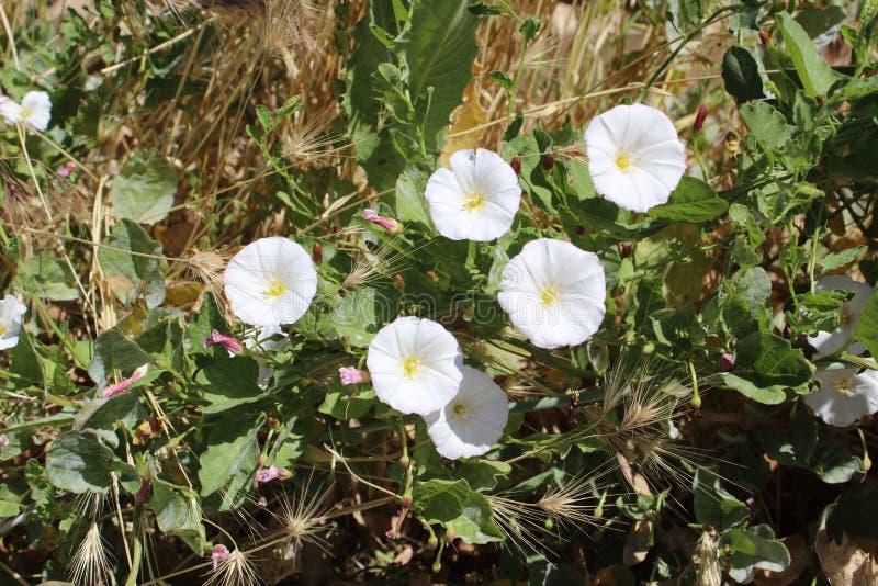 领域野生植物旋花植物arvensis 免版税库存图片