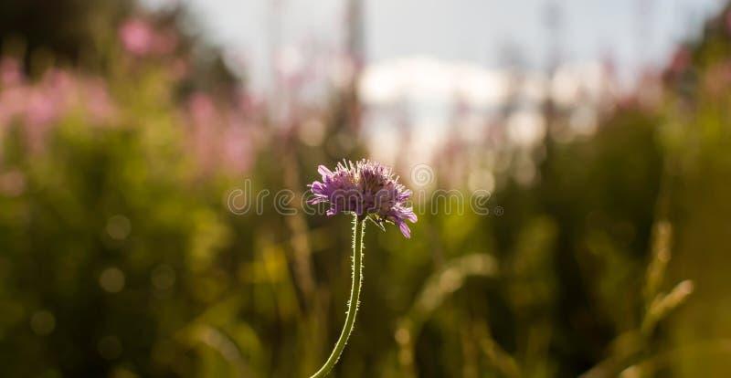 领域飞蓬花Knautia arvensis在反对平衡的后面阳光的草甸 免版税库存图片