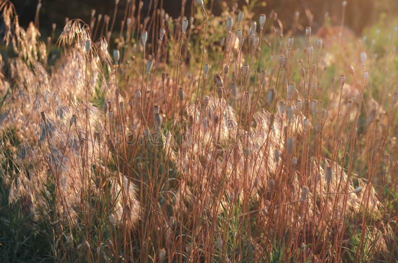 领域鸦片开了花 鸦片太阳被温暖的头在领域草的黄色小尖峰的中 夏天循环 免版税库存照片
