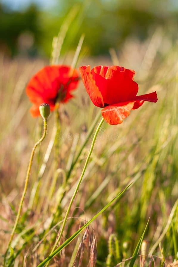 领域鸦片美丽的红色花在领域草背景的  免版税库存图片