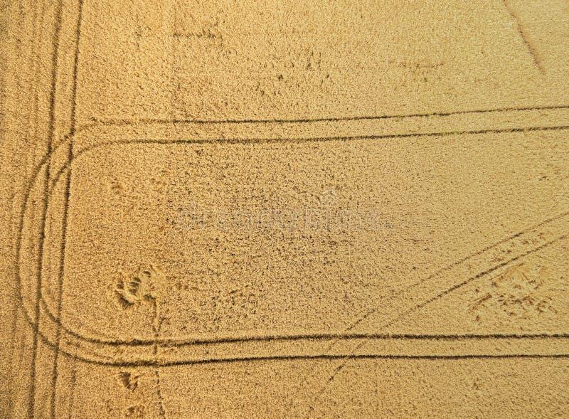 领域麦子从上面 库存图片