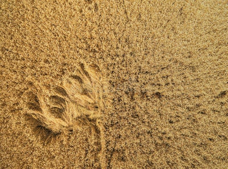 领域麦子从上面 图库摄影