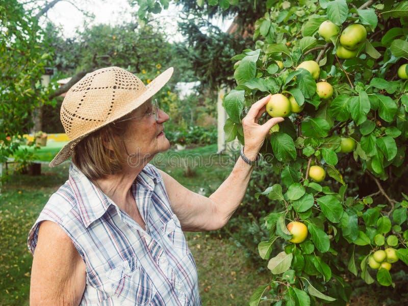 领抚恤金者看她的苹果在她的庭院里 库存图片